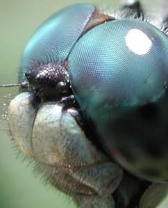 Gli occhi composti di una libellula